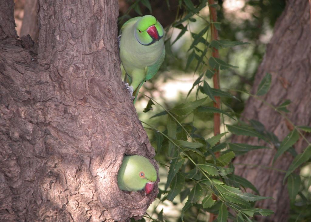 Rose-Ringed Parakeet, Chhatra Sagar, near Nimaj, India