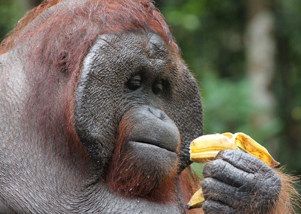 Dominant male orangutan, Tanjung Puting, Indonesia
