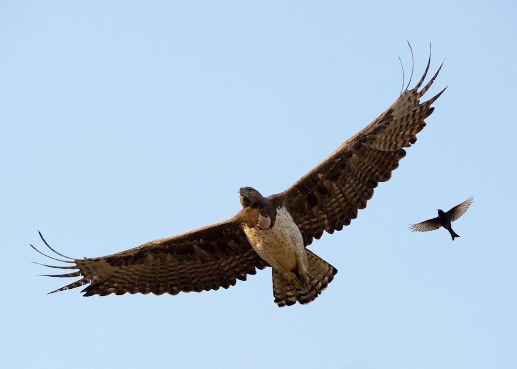 Marshall Eagle, Majete Wildlife Reserve