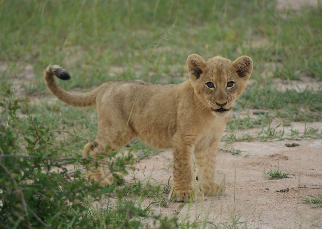 Lion cub, the Sabi Sand Wildtuin, South Africa