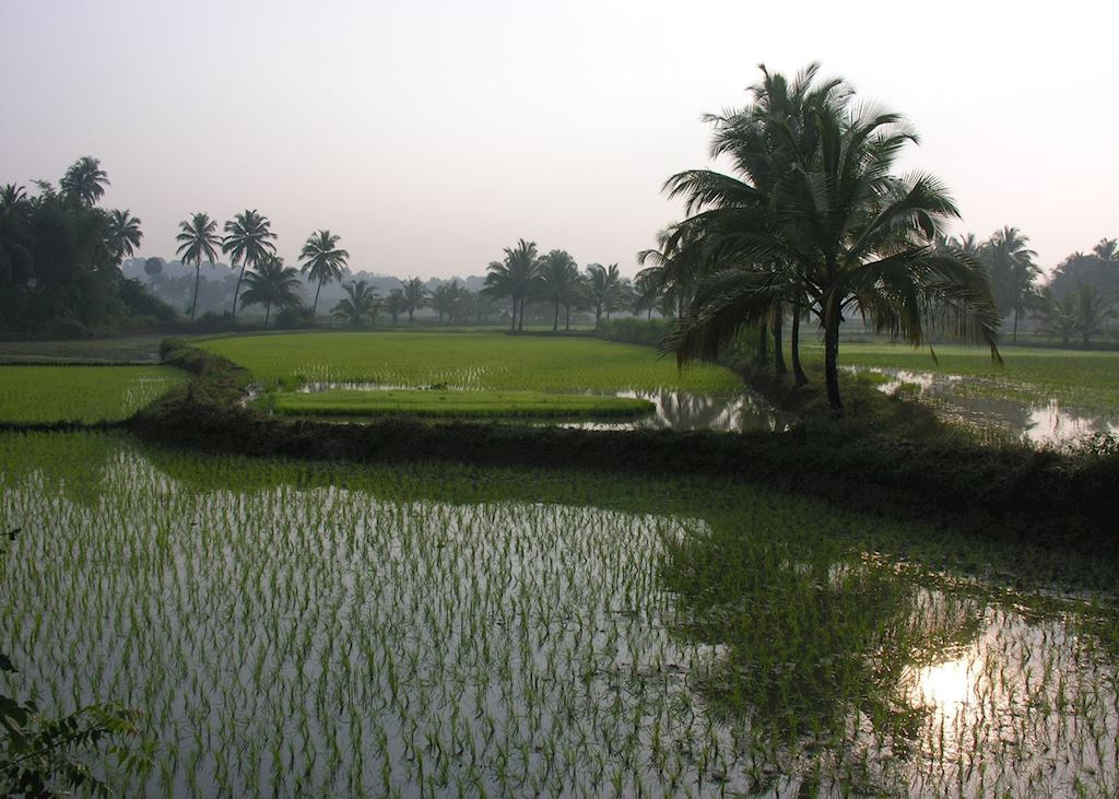 Paddy fields, Palakkad, India