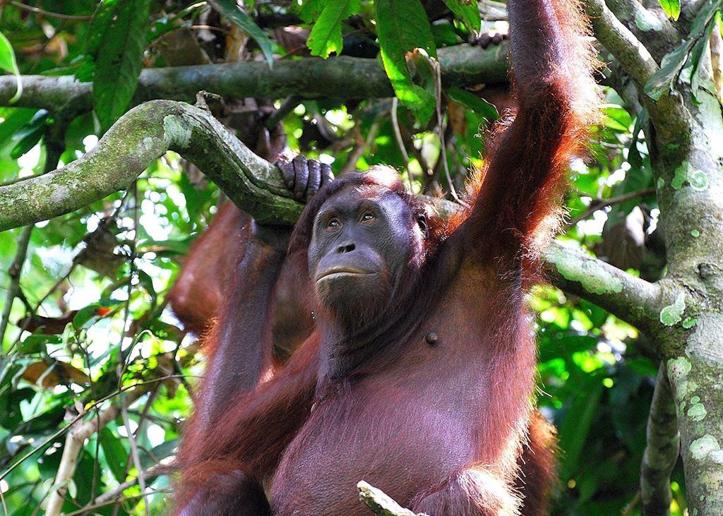 Female orangutan, Sepilok Orangutan Rehabilitation Centre, Malaysian Borneo