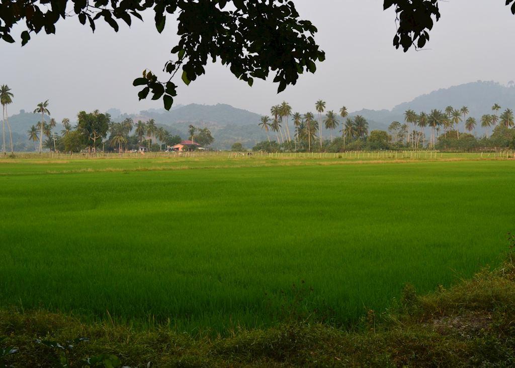 Paddy fields on Langkawi