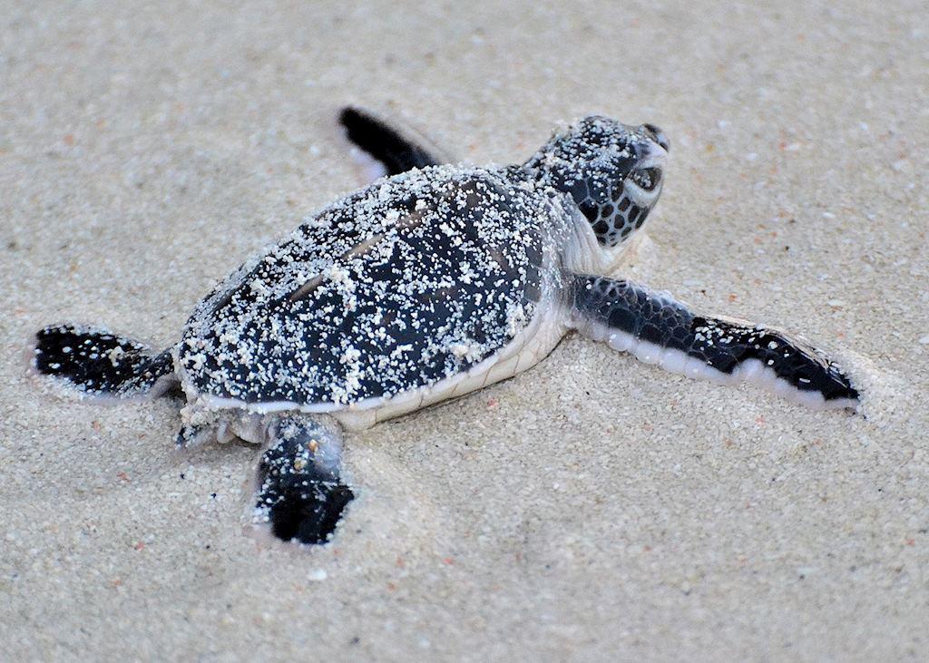 Turtle hatchling, Mataking Island