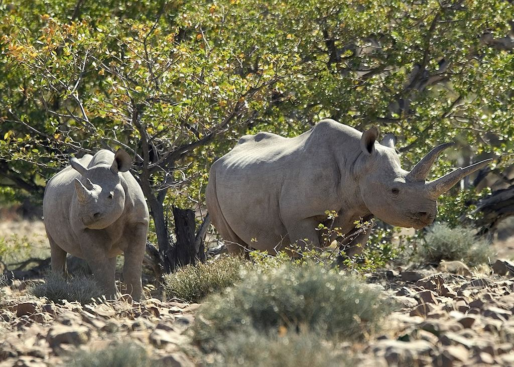 Black rhino, Damaraland