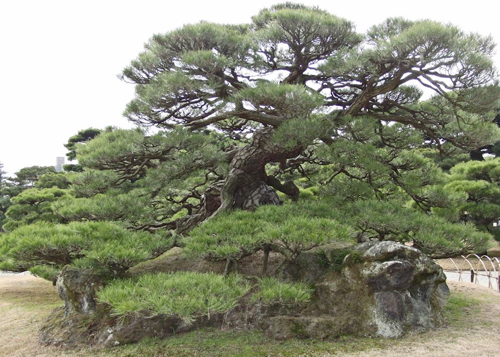 Ancient Pine Tree in Ritsurin Park, Takamatsu