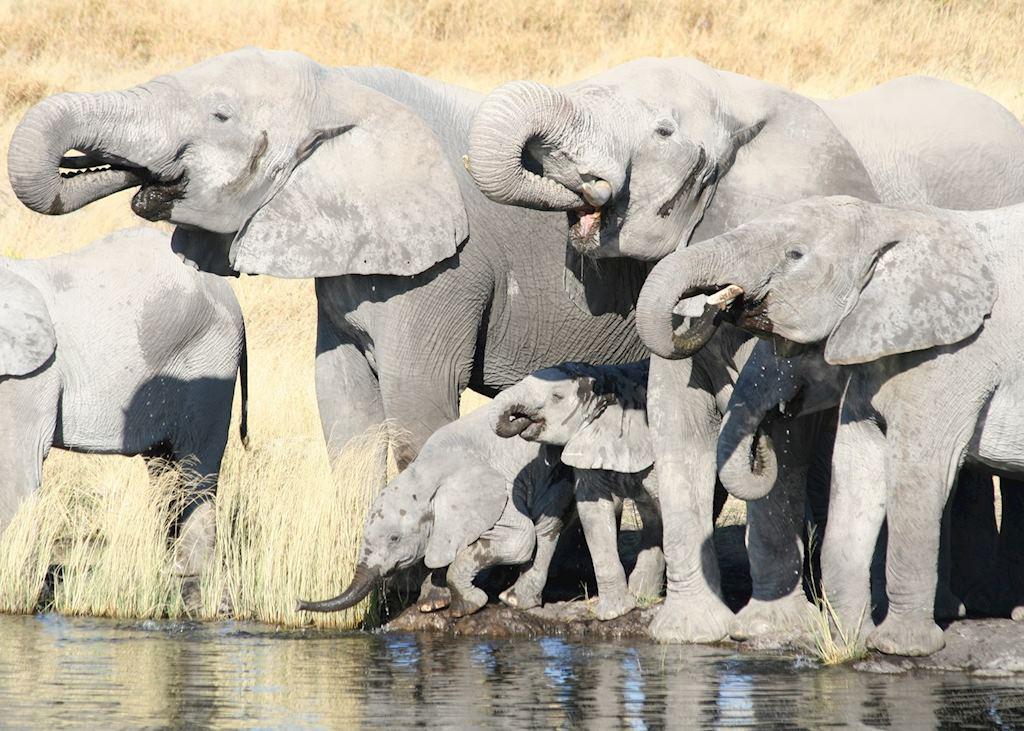 Elephant herd, Etosha National Park