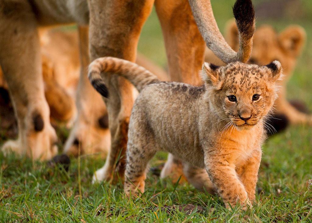 Lion cub, Masai Mara