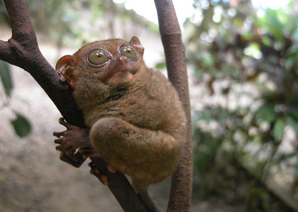 Rare Tarsier Monkey, Bohol