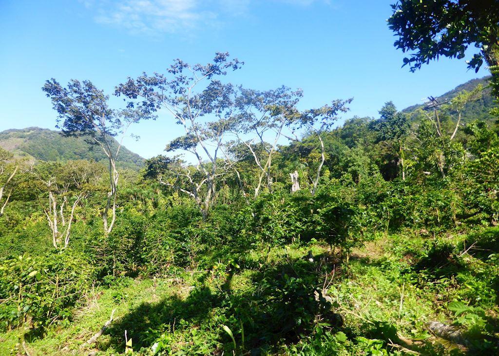 Coffee plantation at Selva Negra