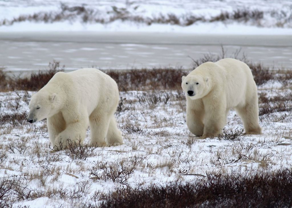Polar bears on the tundra near Churchill