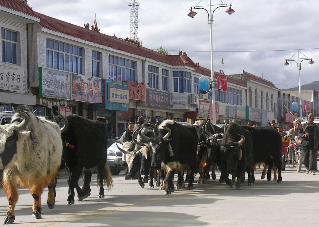 Yaks in street, Gyantse