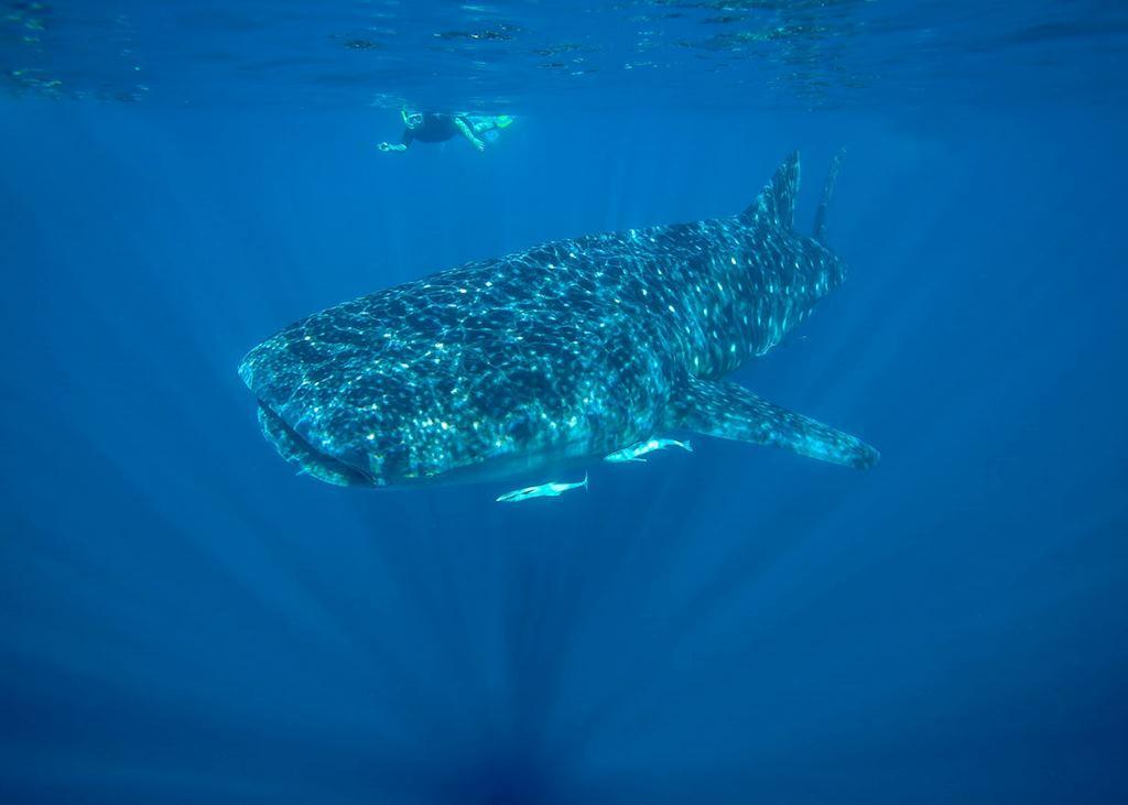 Whale shark, Ningaloo Marine Park