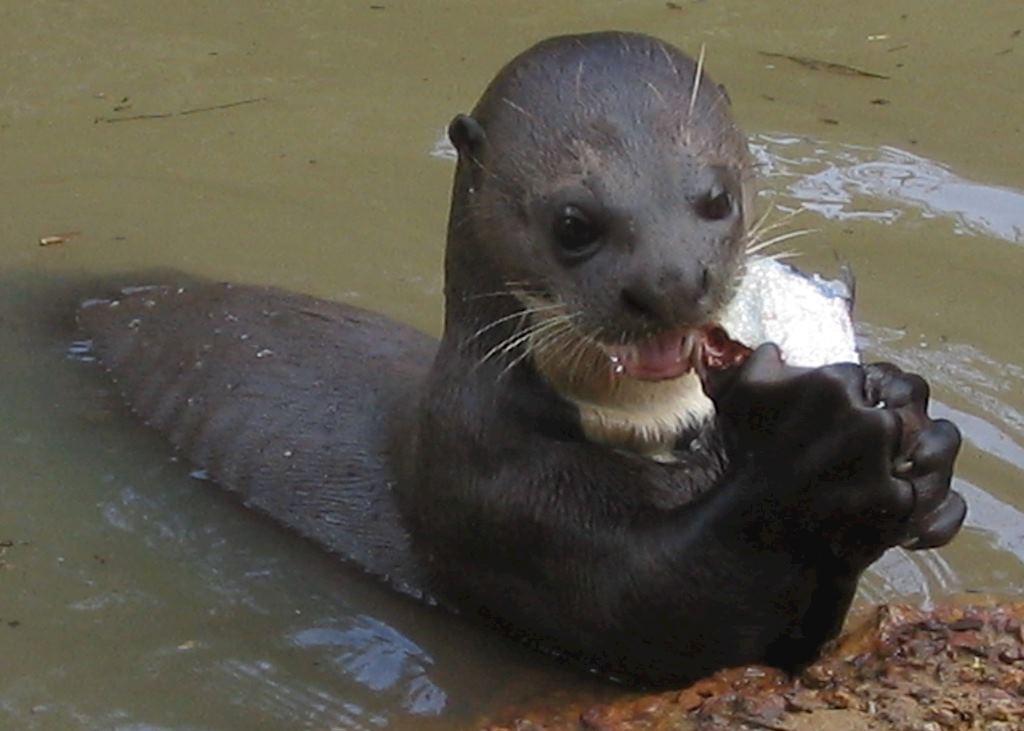 Giant River Otter, Karanambu, Guyana