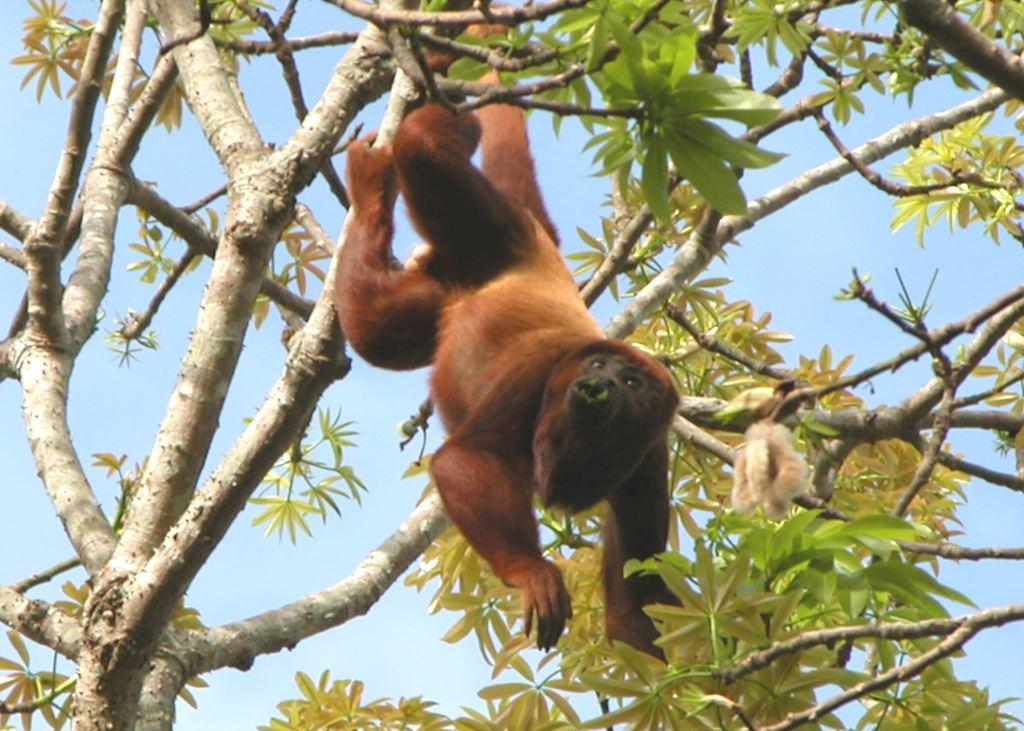 Red Howler Monkey, Los Llanos