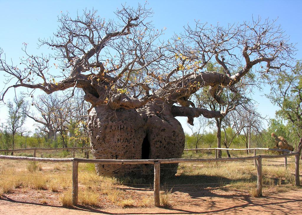 Prison Boab Tree, Derby