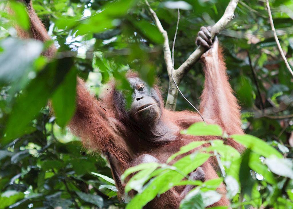Orangutan in Tabin Wildlife Reserve, Malaysian Borneo