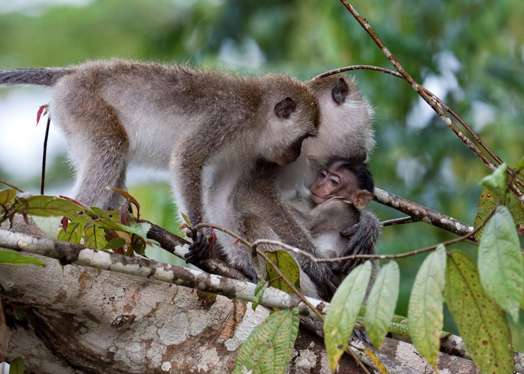 Long tailed macaque on the Kinabatangan River, Malaysian Borneo