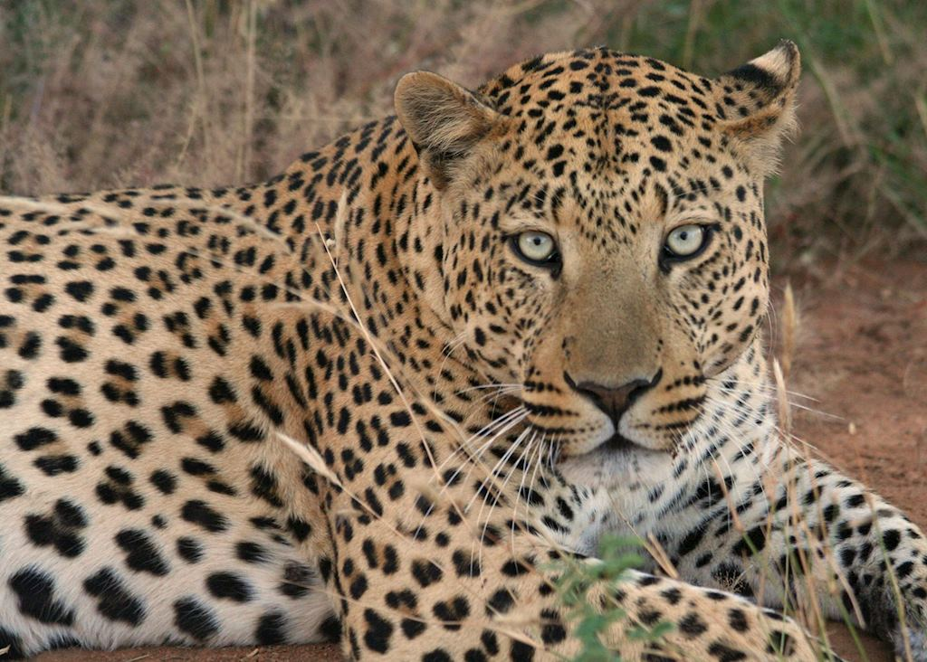 Leopard on the Okonjima Reserve