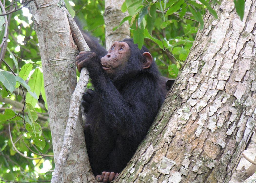 Chimpanzee trekking in Mahale National Park, Tanzania