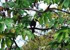 Chestnut-mandibled toucan, Osa Peninsula