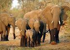 Breeding herd of elephant