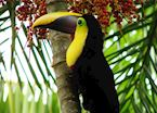Chestnut-mandibled Toucan, Costa Rica