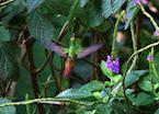 Hummingbird, Turrialba, Costa Rica