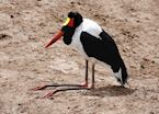 Saddle-billed stork in Katavi National Park, Tanzania