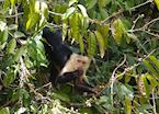 Capuchin Monkey, Cano Negro excursion from Arenal