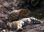 Resting by a waterhole, Kanha