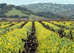 Mustard growing between the vines, Sonoma County, northern California