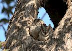 Collared Scops Owl, Kanha National Park, India