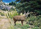 A Huemul in Patagonia