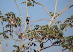 Wild Toucan at Refugio Caiman
