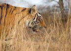 Tiger in Ranthambhore National Park