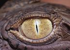 Crocodile eye, Zambia