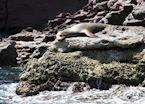 Sleeping Sea-lion, Baja California