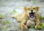 Lion cub & elephant dung