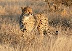 Cheetah in Etosha National Park