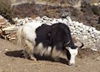 Yak, Everest Region, Nepal