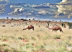 Camels at Uluru