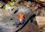 Blue Jeans Dart Frog, Sarapiqui, Costa Rica