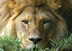 Lion in the Eastern Cape