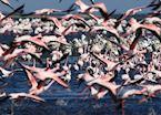 Flamingos near Swakopmund