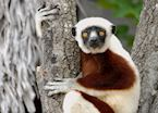 Sifaka at Anjajavy
