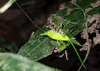 Insect encountered during night walk in Sarapiqui, Costa Rica