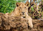 Lion on the riverbank, Lower Zambezi National Park,Zambia