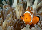 Clownfish among the coral gardens of Cebu
