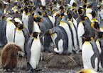 King penguin colony, South Georgia